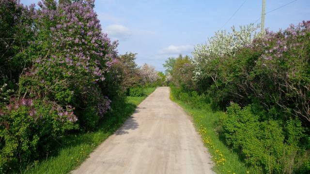 The lilac lined lane into our new home has never looked brighter. It looks like a great year for apples, too.